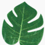 Profile picture of leaf
